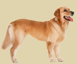 狗狗第一次怀孕的症状