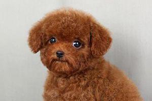 公泰迪狗几个月绝育好