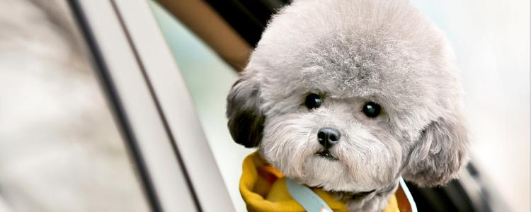 怎么挑选贵宾幼犬 这几招教你选狗狗