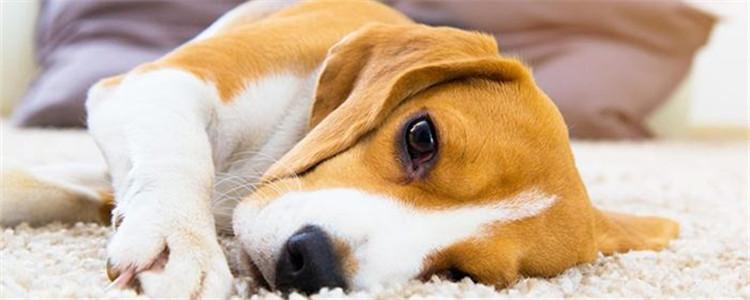 狗狗产后缺钙急救办法有哪些 不及时补钙可导致狗狗死亡