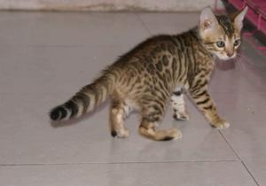 豹猫产后出血怎么办 豹猫产后出血治疗方法