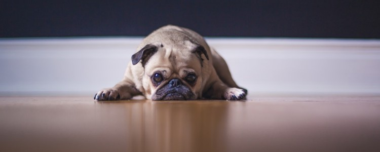 老年犬容易患的疾病 这三类病不可忽视