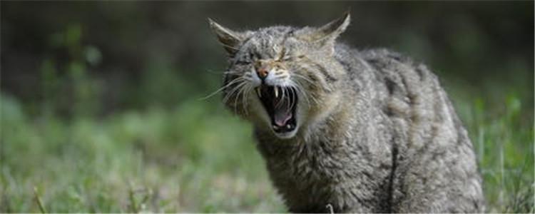 公猫做完绝育后的表现有什么 为什么会有这种表现