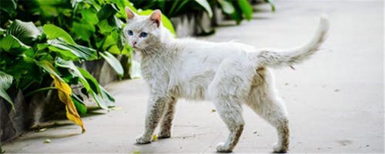 猫不做绝育可以吗 猫不绝育有什么坏处