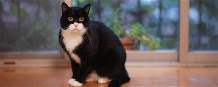 公猫绝育后舔伤口怎么办 公猫绝育后有什么注意事项