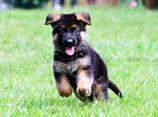 德牧怎么训练大小便 德国牧羊犬定点上厕所训练视频