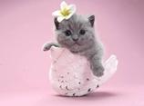 英国短毛猫怎么美容 英国短毛猫美容视频