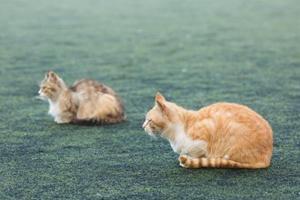 成年猫咪怎么分辨公母