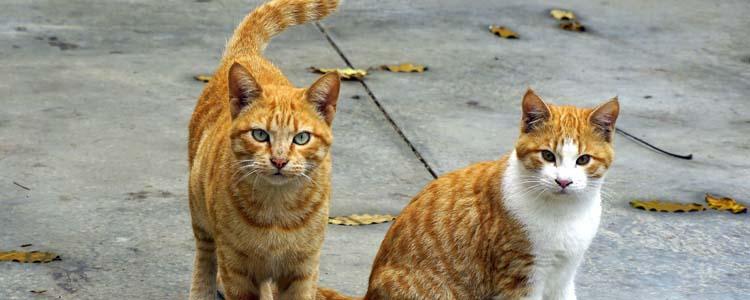 怎么判断猫咪是否发情 猫咪发情判断方法